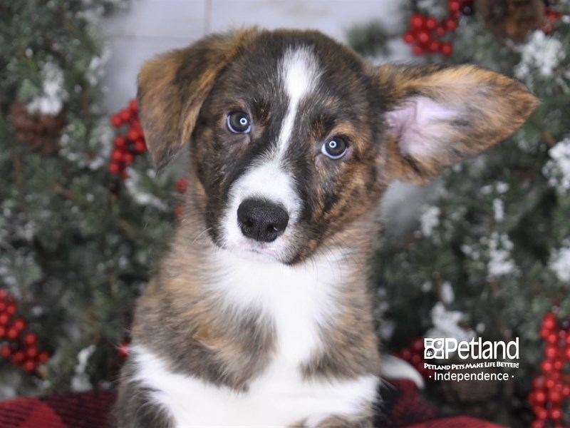 Cardigan Welsh Corgi-Male-Brindle-2887099-Petland Independence, MO