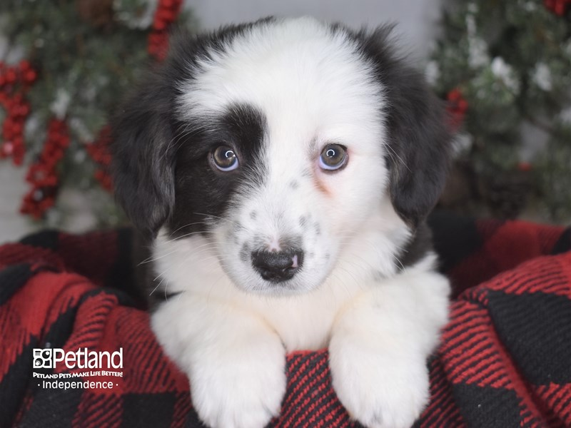 Cardigan Welsh Corgi-Female-Black and White-2914847-Petland Independence, MO