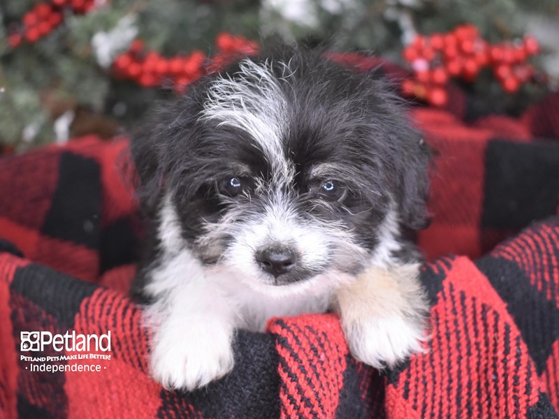 Chipoo-Female-Black and White-2930797-Petland Independence, MO