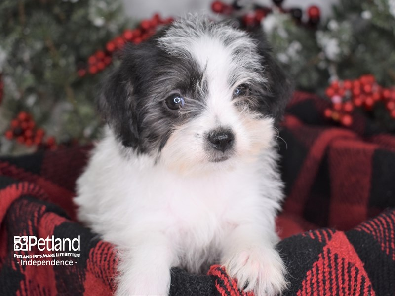 Chipoo-Female-Black and White-2930792-Petland Independence, MO
