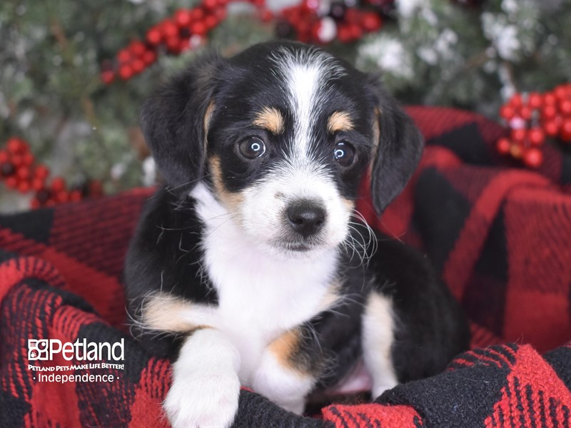 Chipoo-Female-Black and White-2930794-Petland Independence, MO