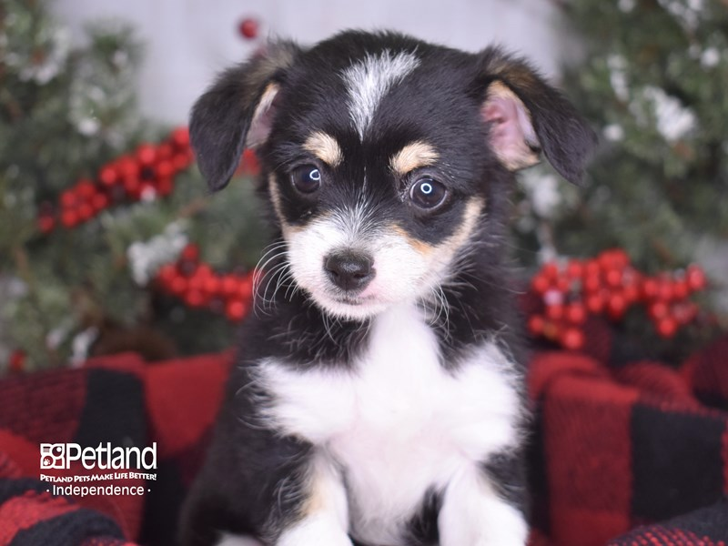 Chipoo-Female-Black and White-2930785-Petland Independence, MO