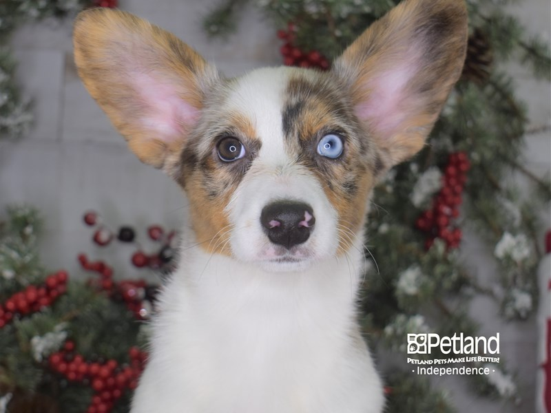 Cardigan Welsh Corgi-Female-Blue Merle-2887107-Petland Independence, MO