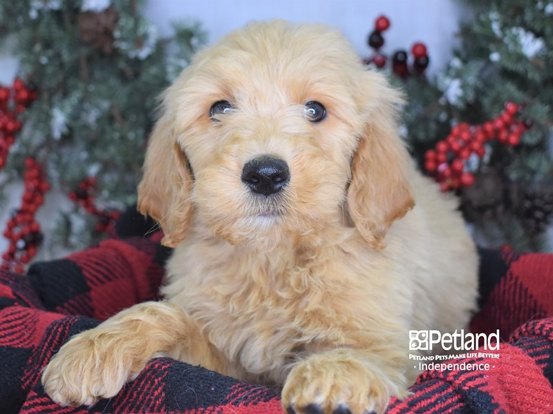Goldendoodle-Male-Golden-2934960-Petland Independence, MO