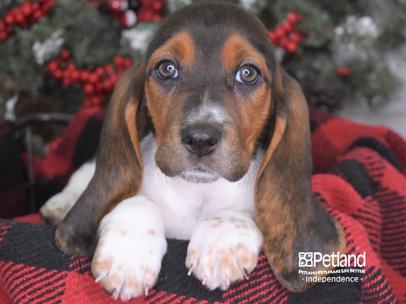 Basset Hound-Female--2931538-Petland Independence, MO