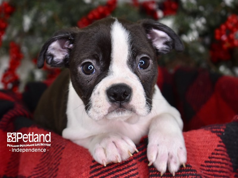 Boston Terrier-Male-Black and White-2938275-Petland Independence, MO