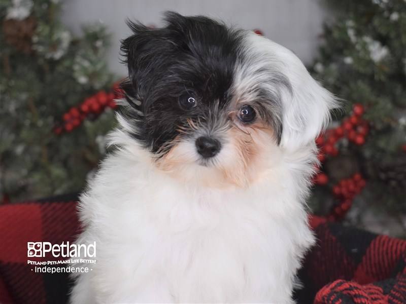 Maltipoo-Female-White-2936220-Petland Independence, MO