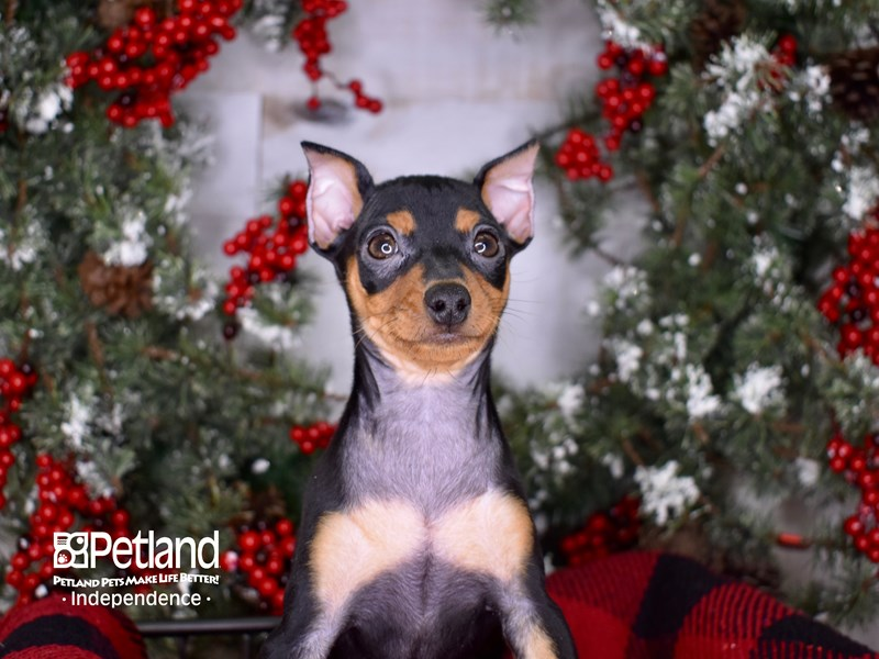 Miniature Pinscher-Female-Black and Rust-2900147-Petland Independence, MO