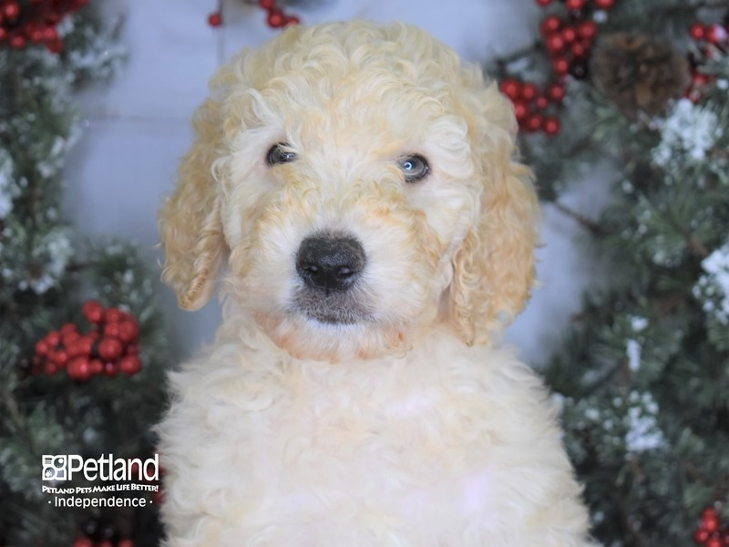 Goldendoodle-Female-Platinum-2908435-Petland Independence, MO