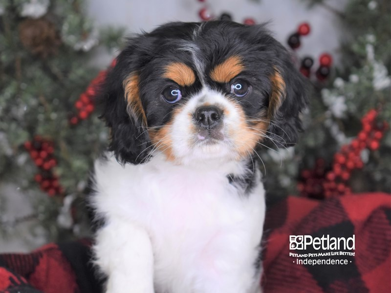 Cavalier King Charles Spaniel-Female-Black and White-2922027-Petland Independence, MO