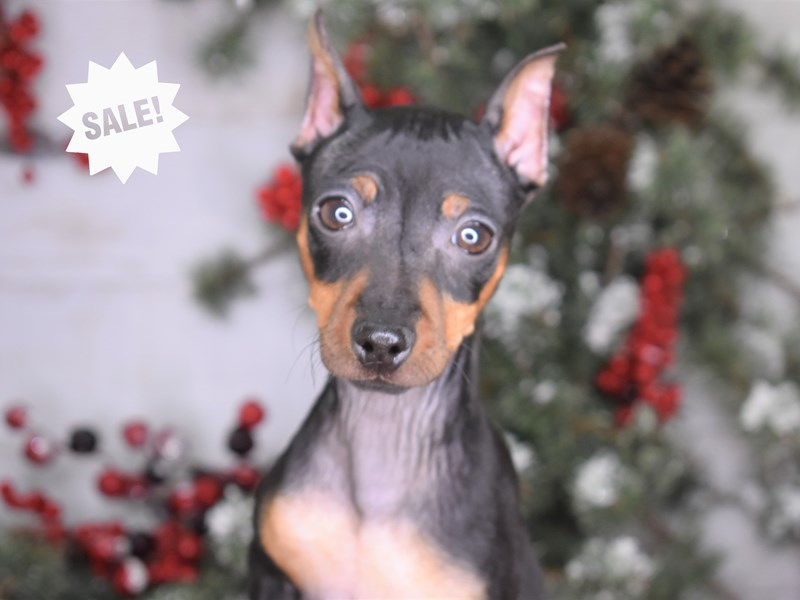 Miniature Pinscher-Female-Black and Rust-2880378-Petland Independence, MO