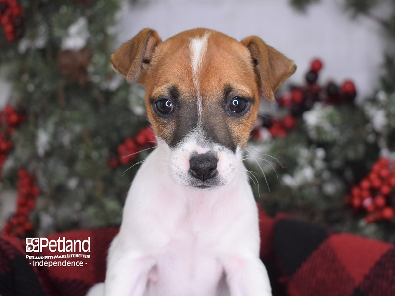 Jack Russell Terrier-Female--2939707-Petland Independence, MO