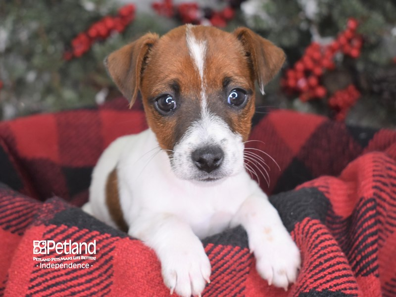 Jack Russell Terrier-Female--2939715-Petland Independence, MO