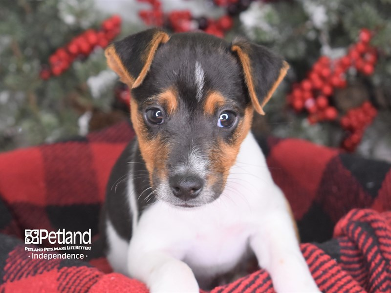 Jack Russell Terrier-Male--2939717-Petland Independence, MO