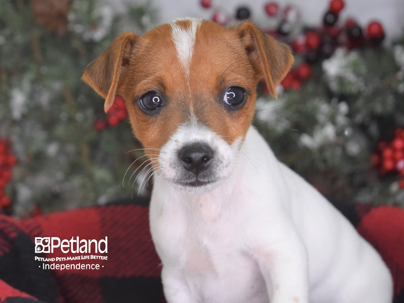 Jack Russell Terrier-Male--2939716-Petland Independence, MO