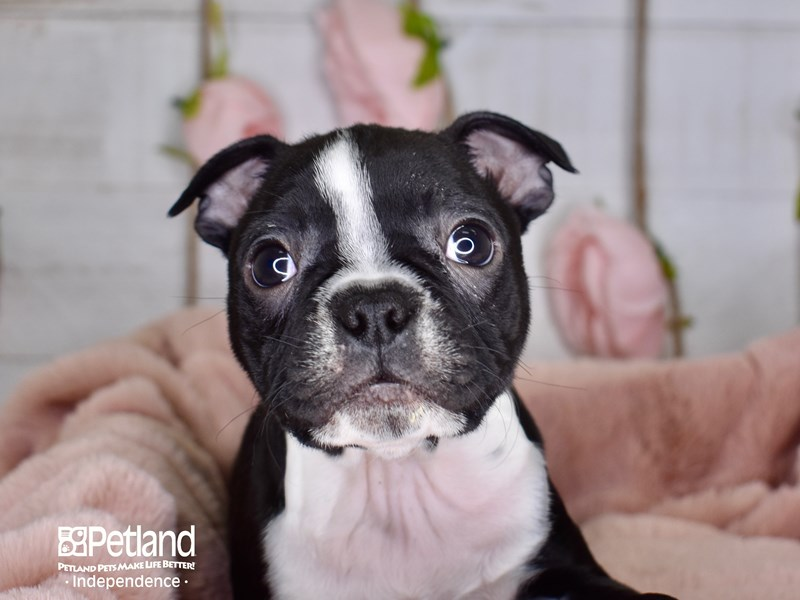 Boston Terrier-Male-Black and White-2948786-Petland Independence, MO