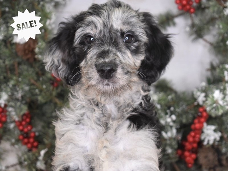 Goldendoodle-Female-Blue Merle-2914772-Petland Independence, MO
