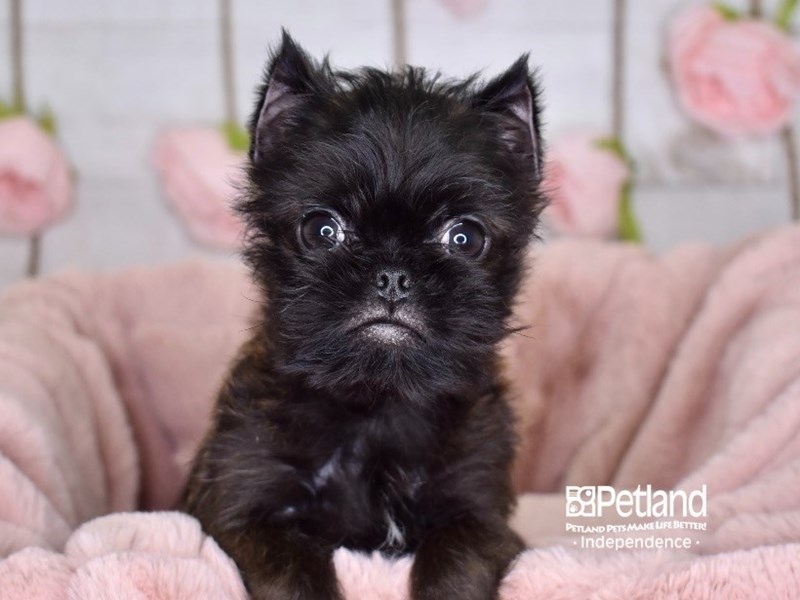 Brussels Griffon-Male-Black and Tan-2952868-Petland Independence, MO