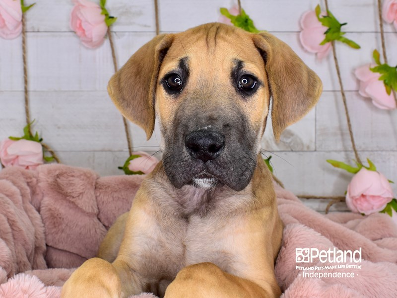 Great Dane-Male-Fawn-2968309-Petland Independence, MO