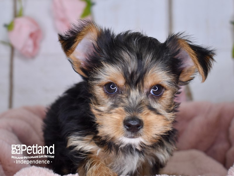 Yorkshire Terrier-Female-Black and Tan-2940338-Petland Independence, MO