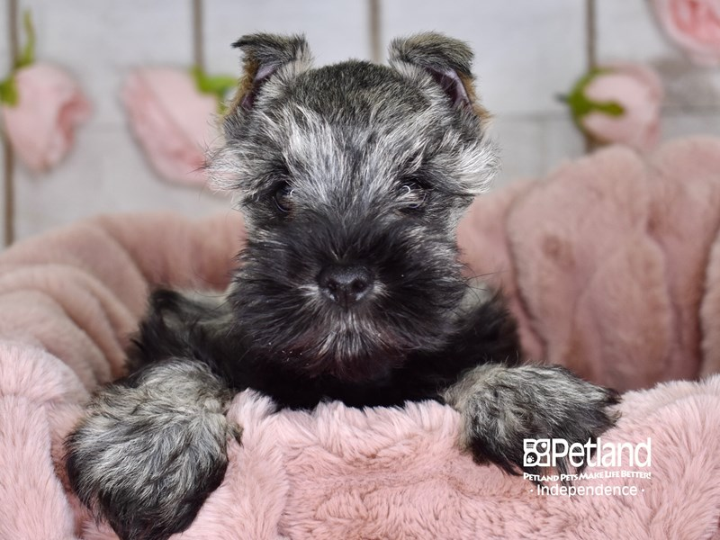 Miniature Schnauzer-Male-Black and Silver-2959971-Petland Independence, MO