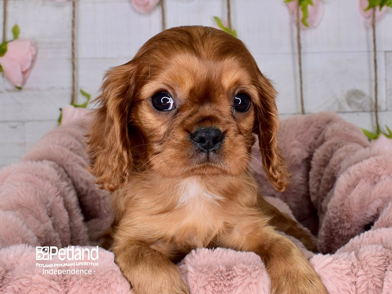 Cavalier King Charles Spaniel-Male-Ruby-2968533-Petland Independence, MO