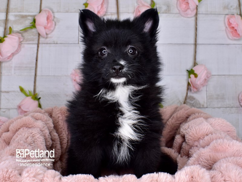 Pomeranian-Female-Black-2977564-Petland Independence, MO