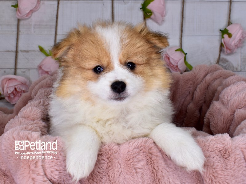 Pomeranian-Female-Orange and White Parti-2977557-Petland Independence, MO