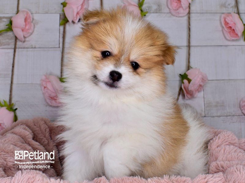 Pomeranian-Male-Orange and White Parti-2977532-Petland Independence, MO