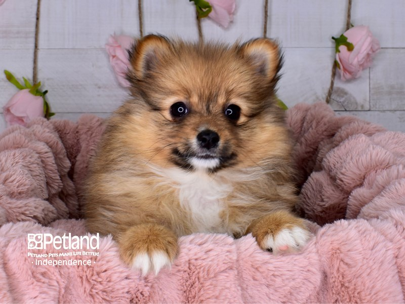 Pomeranian-Female-Sable-2977593-Petland Independence, MO