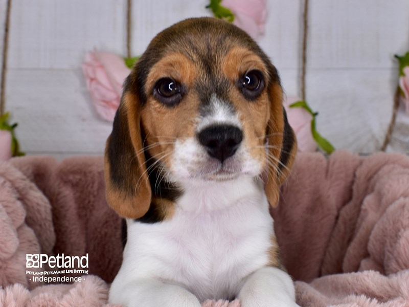 Beagle-Male-Black White & Tan-2976790-Petland Independence, MO