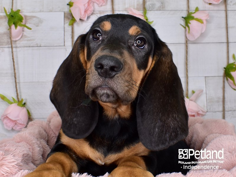 Basset Hound-Male-Black & Tan-2944797-Petland Independence, MO