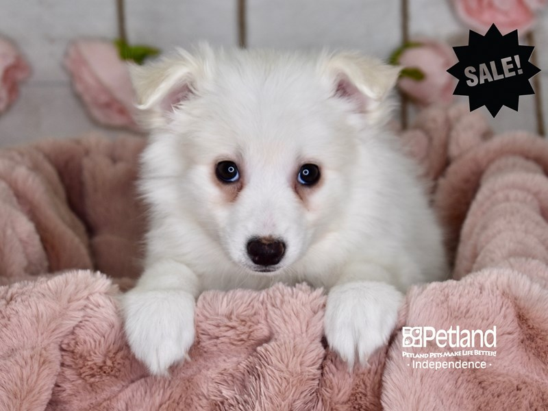 American Eskimo-Female-White-2961312-Petland Independence, MO