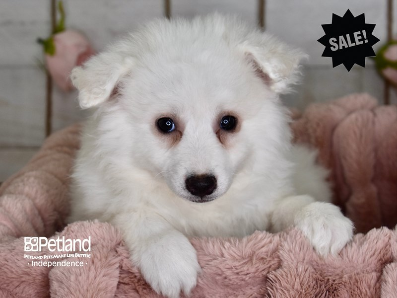 American Eskimo-Female-White-2961318-Petland Independence, MO