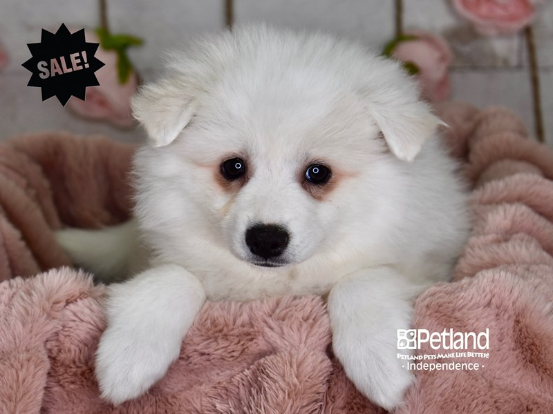 American Eskimo-Female-White-2959965-Petland Independence, MO