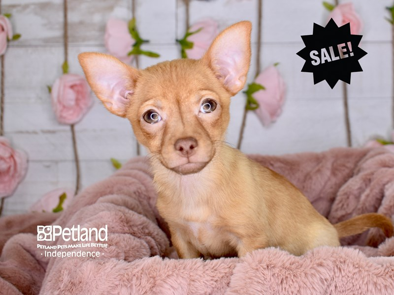 Chihuahua-Female-Red-2930780-Petland Independence, MO