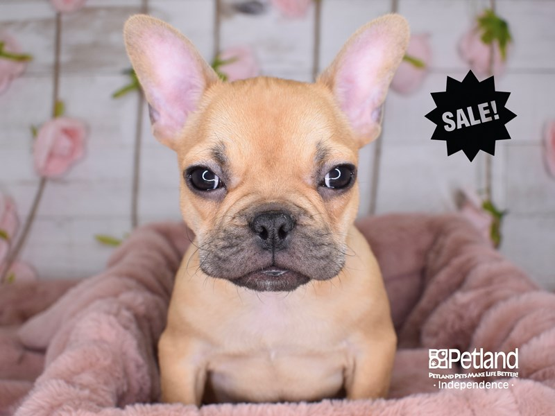 French Bulldog-Male-Red-2929922-Petland Independence, MO