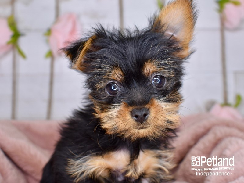 Yorkshire Terrier-Female-Black and Tan-2999881-Petland Independence, MO