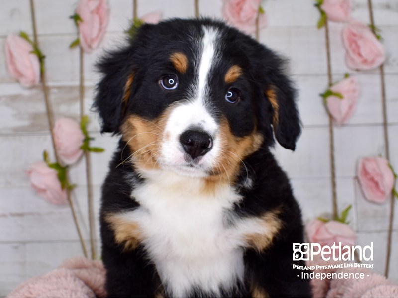 Bernese Mountain Dog-Male-Black and Rust-2997421-Petland Independence, MO