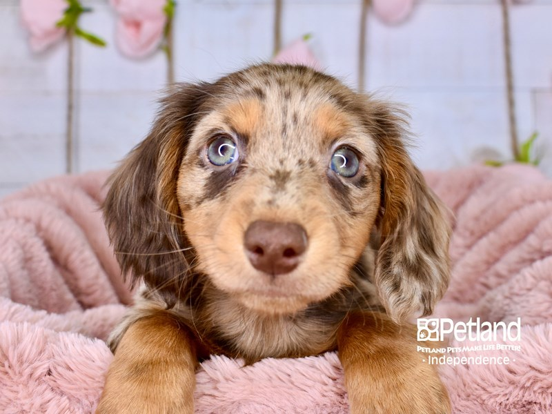 Dachshund-Male-Chocolate and Tan Dapple-3001011-Petland Independence, MO