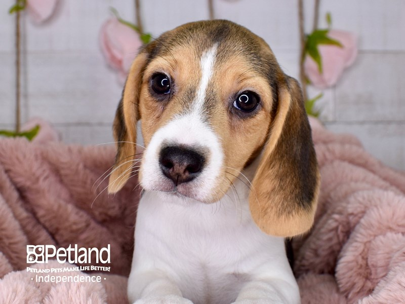 Beagle-Female-Black and Tan-3001032-Petland Independence, MO