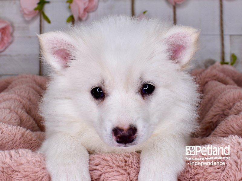American Eskimo-Female-White-3002956-Petland Independence, MO