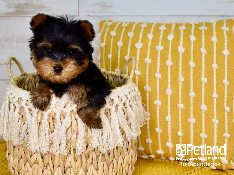 Yorkshire Terrier-Female-Black & Tan-3011255-Petland Independence, MO