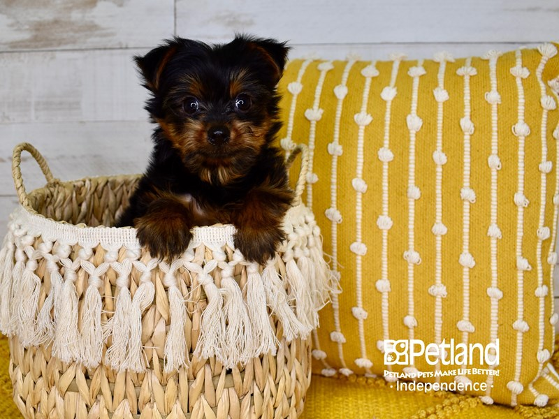 Yorkshire Terrier-Male-Black & Tan-3011245-Petland Independence, MO