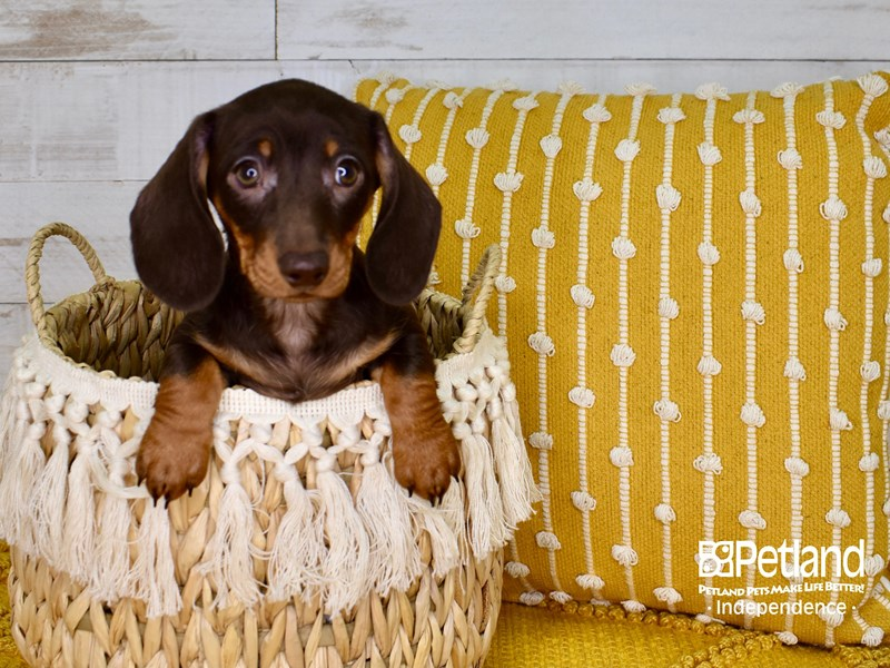 Dachshund-Female-Chocolate & Tan-3010850-Petland Independence, MO