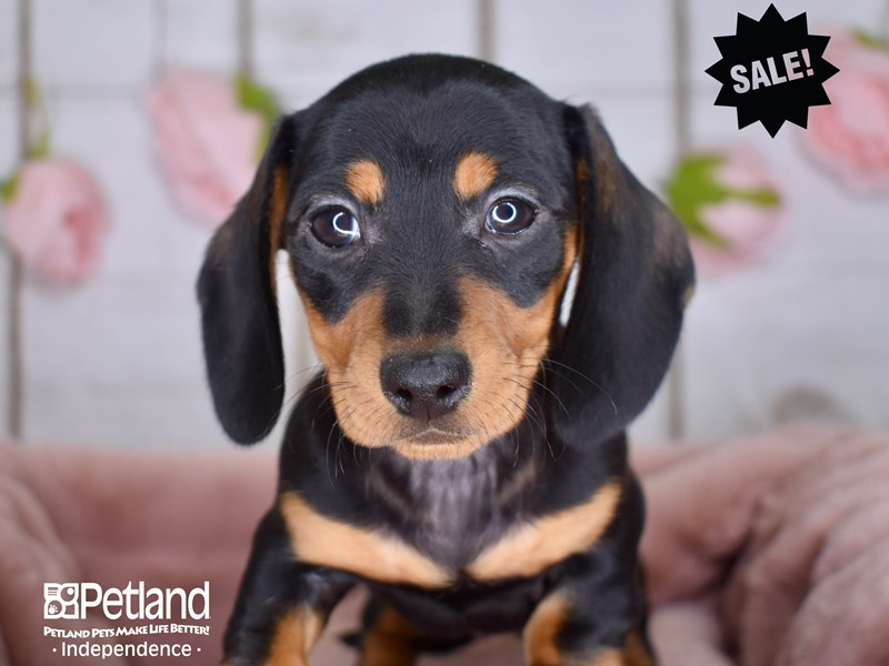 Dachshund-Female-Black and Tan-2948835-Petland Independence, MO