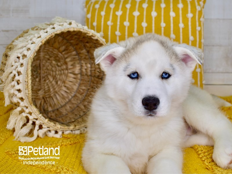 Siberian Husky-Male-Silver-3017447-Petland Independence, MO