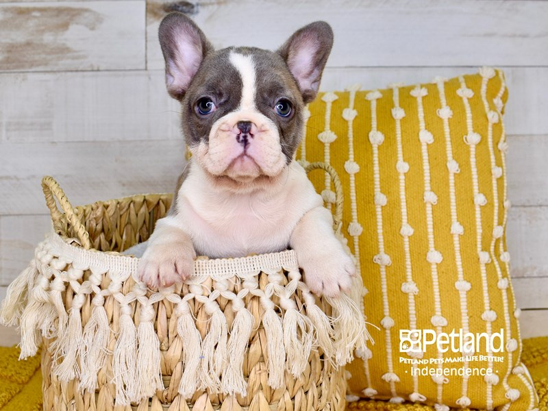 French Bulldog-Female-Blue Fawn Piebald-3021031-Petland Independence, MO