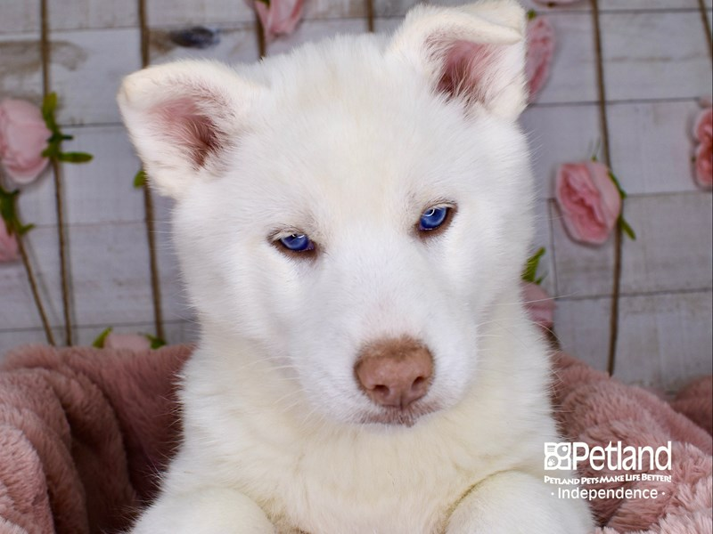 Siberian Husky-Male-Black and White-3000460-Petland Independence, MO