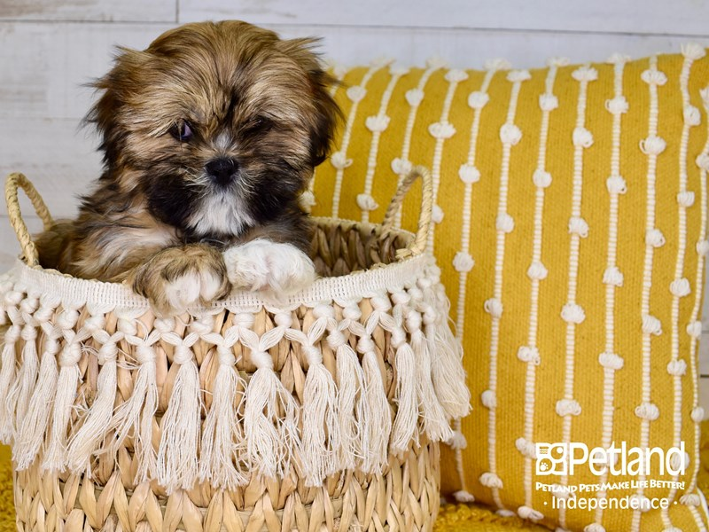 Lhasa Apso-Male-Red and Gold-3017452-Petland Independence, MO